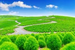 Όμορφα kochias στο πάρκο παραλιών Hitachi, Ιαπωνία στοκ εικόνες με δικαίωμα ελεύθερης χρήσης