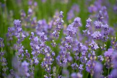 Όμορφα lavenders κλείνουν επάνω στον κήπο με θολωμένο lavender Στοκ Φωτογραφίες