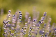 όμορφα lavenders Στοκ φωτογραφία με δικαίωμα ελεύθερης χρήσης