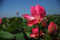 Όμορφα lotuses στη φύση Στοκ εικόνα με δικαίωμα ελεύθερης χρήσης