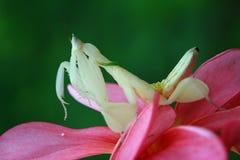 Όμορφα mantis στο λουλούδι, mantis Στοκ φωτογραφίες με δικαίωμα ελεύθερης χρήσης