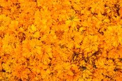 Όμορφα Marigold officinalis Calendula για το υπόβαθρο λουλουδιών Στοκ Φωτογραφία