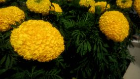 Όμορφα Marigolds Στοκ Εικόνα