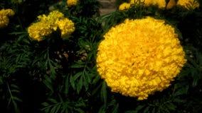 Όμορφα Marigolds Στοκ Εικόνες
