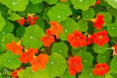 Όμορφα nasturtium λουλούδια που αυξάνονται και που ανθίζουν στον κήπο Στοκ φωτογραφία με δικαίωμα ελεύθερης χρήσης