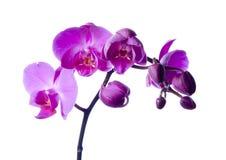 όμορφα orchids Στοκ Φωτογραφίες