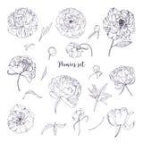 Όμορφα peonies καθορισμένα Συρμένα χέρι λουλούδια, οφθαλμοί και φύλλα ανθών Γραπτή διανυσματική συλλογή απεικόνισης Στοκ Φωτογραφία
