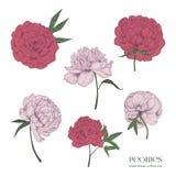 Όμορφα peonies καθορισμένα Συρμένα χέρι λουλούδια, οφθαλμοί και φύλλα ανθών Ζωηρόχρωμη διανυσματική συλλογή απεικόνισης Στοκ Εικόνες