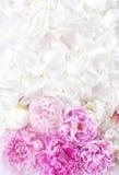 όμορφα peonies Στοκ φωτογραφίες με δικαίωμα ελεύθερης χρήσης