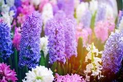 Όμορφα Pinks φύσης και ιώδες λουλούδι στον κήπο φύσης Στοκ Φωτογραφία