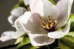 Όμορφα quinceflowers στο χρόνο άνοιξη Στοκ φωτογραφία με δικαίωμα ελεύθερης χρήσης