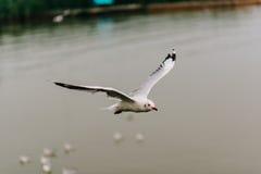Όμορφα seagulls που πετούν στον ουρανό Στοκ φωτογραφία με δικαίωμα ελεύθερης χρήσης