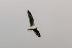 Όμορφα seagulls που πετούν στον ουρανό Στοκ εικόνες με δικαίωμα ελεύθερης χρήσης