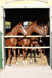 Όμορφα thoroughbred foals που κοιτάζουν πέρα από τη σταθερή πόρτα Στοκ φωτογραφίες με δικαίωμα ελεύθερης χρήσης