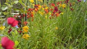 Όμορφα wallflowers