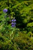 Όμορφες άγρια περιοχές bluebells που αυξάνονται στην Αλάσκα στοκ εικόνες με δικαίωμα ελεύθερης χρήσης