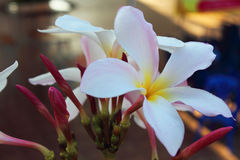 Όμορφες άσπρες scented ανθίσεις με κίτρινο Στοκ Φωτογραφία