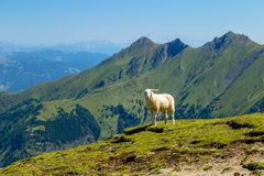 Όμορφες απόψεις της κορυφογραμμής βουνών και οι τραχιές και απόμακρες αλπικές αιχμές με τα χαριτωμένα άσπρα πρόβατα στοκ φωτογραφίες