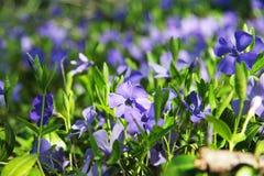 Όμορφες βιολέτες στα πράσινες φύλλα και τη χλόη Λουλούδια και πράσινα Κήπος ή πάρκο Άνοιξη Στοκ Εικόνες