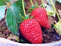 Όμορφες εγκαταστάσεις των γλυκών μαλακών κόκκινων φρέσκων φραουλών στοκ φωτογραφία με δικαίωμα ελεύθερης χρήσης
