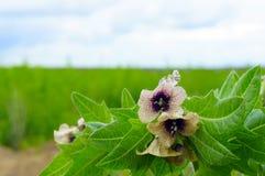 Όμορφες δηλητηριώδεις ανθίσεις λουλουδιών με τα χαρασμένα φύλλα Στοκ Εικόνες