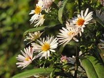 Όμορφες θερινές μαργαρίτες που αυξάνονται στο λιβάδι του Κεντ στοκ φωτογραφία με δικαίωμα ελεύθερης χρήσης