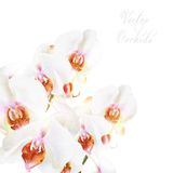 Όμορφες διανυσματικές άσπρες ορχιδέες phalaenopsis που απομονώνονται στο λευκό Στοκ Φωτογραφία