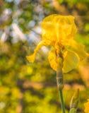 Όμορφες κίτρινες ίριδες με τη δροσιά πρωινού στο φωτεινό φως του ήλιου Στοκ Φωτογραφίες