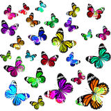 Όμορφες κοινές πεταλούδες τιγρών που πετούν στο χρώμα κλίμακας devine Στοκ Φωτογραφίες