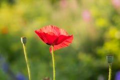 Όμορφες κόκκινες παπαρούνες που ανθίζουν στον κήπο Ρόδινη παπαρούνα στον ήλιο Στοκ εικόνα με δικαίωμα ελεύθερης χρήσης