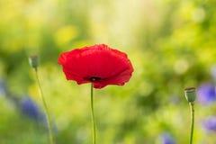 Όμορφες κόκκινες παπαρούνες που ανθίζουν στον κήπο Ρόδινη παπαρούνα στον ήλιο Στοκ φωτογραφία με δικαίωμα ελεύθερης χρήσης