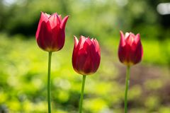 όμορφες κόκκινες τουλίπες Τρεις κόκκινες τουλίπες στο θολωμένο πράσινο υπόβαθρο χλόης Στοκ Εικόνες