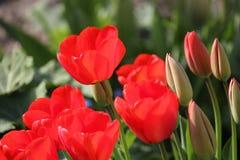 Όμορφες κόκκινες τουλίπες garde Στοκ Εικόνα