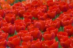 όμορφες κόκκινες τουλίπ&e Στοκ Εικόνα