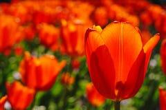 όμορφες κόκκινες τουλίπες Στοκ Φωτογραφίες