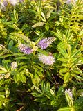 Όμορφες μικρές σπείρες του ρόδινου και άσπρου μπροστινού κήπου s λουλουδιών στοκ φωτογραφία