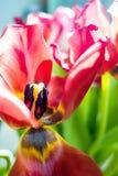 Όμορφες ονειροπόλες τουλίπες Στοκ εικόνες με δικαίωμα ελεύθερης χρήσης