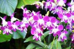 Όμορφες ορχιδέες Dendrobium Στοκ εικόνες με δικαίωμα ελεύθερης χρήσης
