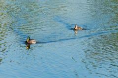 Όμορφες πάπιες που επιπλέουν στην επιφάνεια νερού της λίμνης σαν προφθάνοντας η μια την άλλη που στον ήλιο με Στοκ Εικόνες