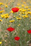 Όμορφες παπαρούνες την άνοιξη στο Ισραήλ Στοκ Φωτογραφίες