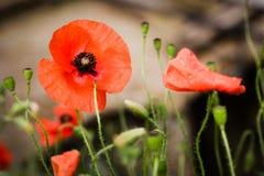 Όμορφες παπαρούνες την άνοιξη στοκ εικόνα με δικαίωμα ελεύθερης χρήσης