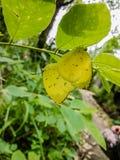 όμορφες πεταλούδες δύο Στοκ Εικόνα