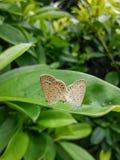 όμορφες πεταλούδες δύο Στοκ Εικόνες