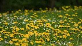 Όμορφες πικραλίδες στον πράσινο τομέα στοκ φωτογραφία με δικαίωμα ελεύθερης χρήσης