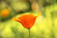 όμορφες πορτοκαλιές παπ&al στοκ εικόνες