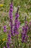 όμορφες πορφυρές άγρια περιοχές λουλουδιών Στοκ Εικόνες