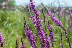 όμορφες πορφυρές άγρια περιοχές λουλουδιών Στοκ Φωτογραφία