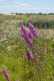 όμορφες πορφυρές άγρια περιοχές λουλουδιών Στοκ Φωτογραφίες