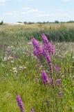 όμορφες πορφυρές άγρια περιοχές λουλουδιών Στοκ φωτογραφία με δικαίωμα ελεύθερης χρήσης