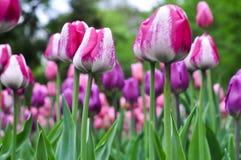 Όμορφες ρόδινες και άσπρες τουλίπες Ρόδινες τουλίπες στον κήπο Στοκ Εικόνα